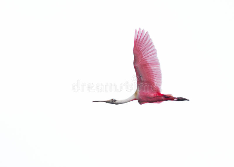 Roseate spoonbill in flight on white background stock image