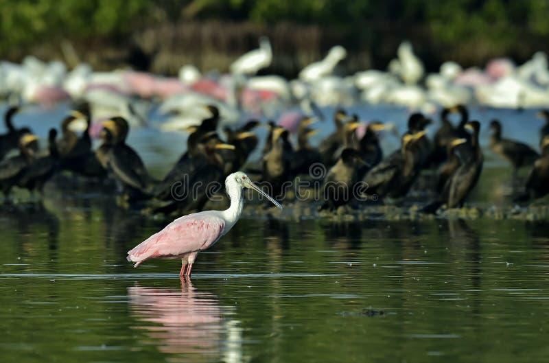 Roseate spoonbill i lagun royaltyfri bild