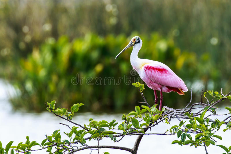 Roseate Spoonbill. This image of a Roseate Spoonbill was captured at the Wakodahatchee Wetlands in Delray Beach, Florida. The photograph was taken during the royalty free stock images