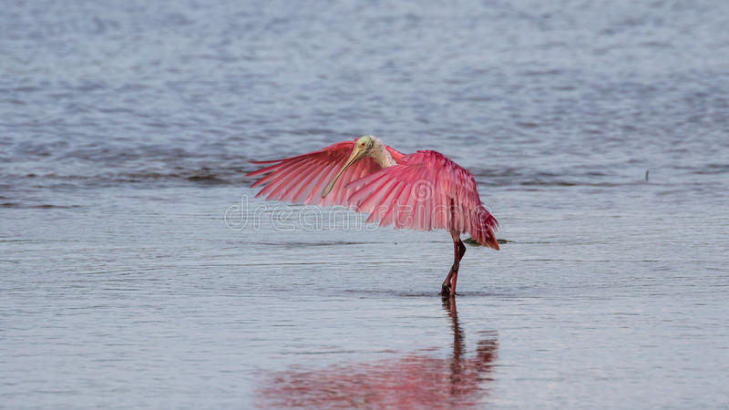 Roseate Spoonbill, J n Ding Darling National Wildlife Refug arkivfoton
