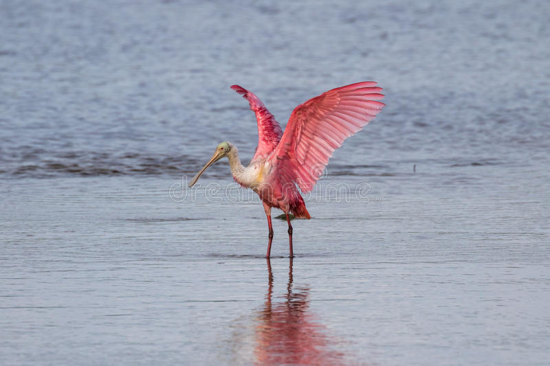 Roseate Spoonbill, J n Ding Darling National Wildlife Refug arkivbilder