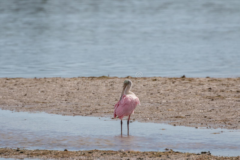 Roseate Spoonbill, J n Ding Darling National Wildlife Refug royaltyfri foto