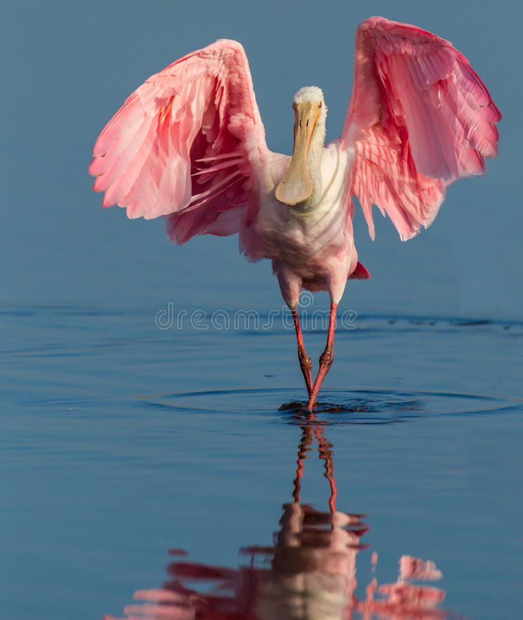 Roseate spoonbill lands with wings spread. Demonstrating the mating plumage color stock images