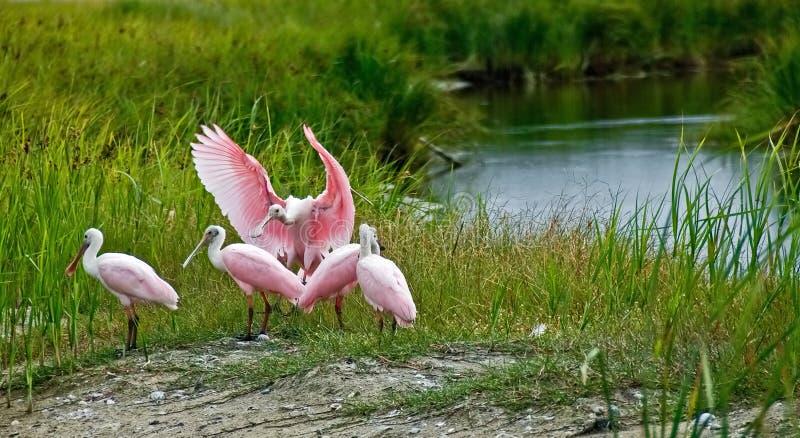 Roseate spoonbill in moerasland stock afbeeldingen