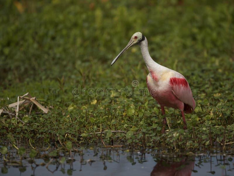 Roseate Spoonbill no pântano da Flórida imagens de stock royalty free