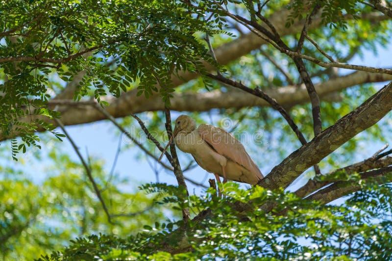 Roseate Spoonbill (Platalea ajaja), tomada na Costa Rica imagens de stock