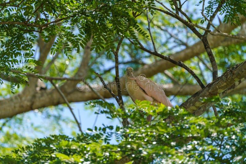 Roseate Spoonbill & x28;Platalea ajaja& x29;, tomada na Costa Rica imagem de stock
