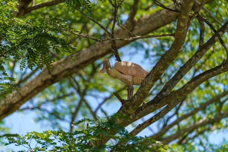 Roseate Spoonbill (Platalea ajaja), tomada na Costa Rica fotos de stock