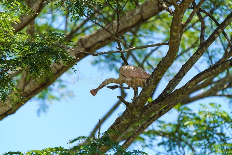 Roseate Spoonbill (Platalea ajaja), tomada na Costa Rica imagem de stock royalty free