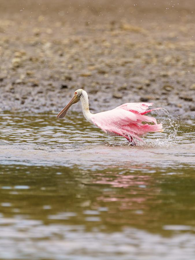 Roseate Spoonbill & x28;Platalea ajaja& x29;, tomada na Costa Rica fotos de stock