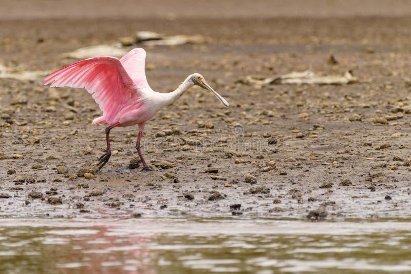 Roseate Spoonbill (Platalea ajaja), tomada na Costa Rica imagens de stock royalty free