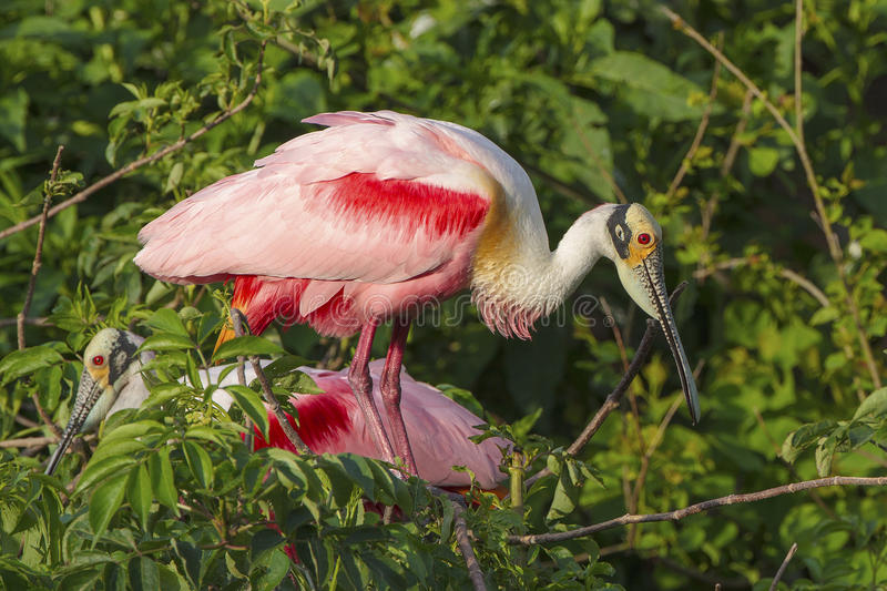Roseate Spoonbill Portrait royalty free stock photo