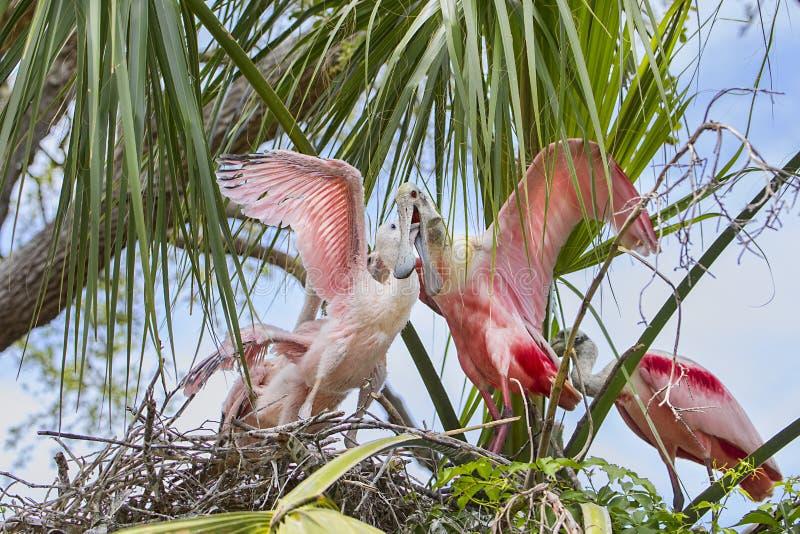 Roseate Spoonbill som matar en av hennes fågelungar fotografering för bildbyråer