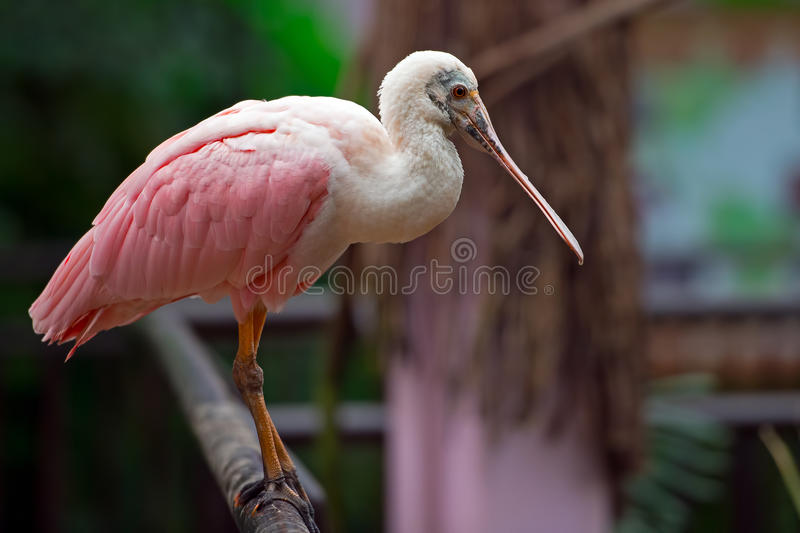 Roseate Spoonbill. Standing on a post royalty free stock photo