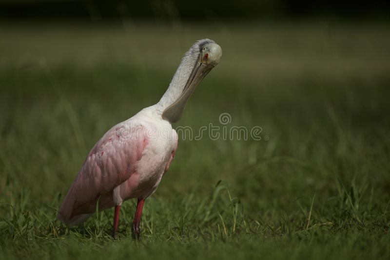 Roseate Spoonbill in Tampa, Florida. A beautiful pink Roseate Spoonbill Platalea ajaja wading in a flooded field, searching for tadpoles to eat. Tampa, FL, USA royalty free stock photos