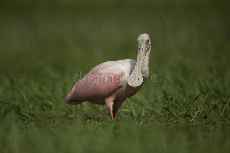 Roseate Spoonbill in Tampa, Florida. A beautiful pink Roseate Spoonbill Platalea ajaja wading in a flooded field, searching for tadpoles to eat. Tampa, FL, USA royalty free stock image