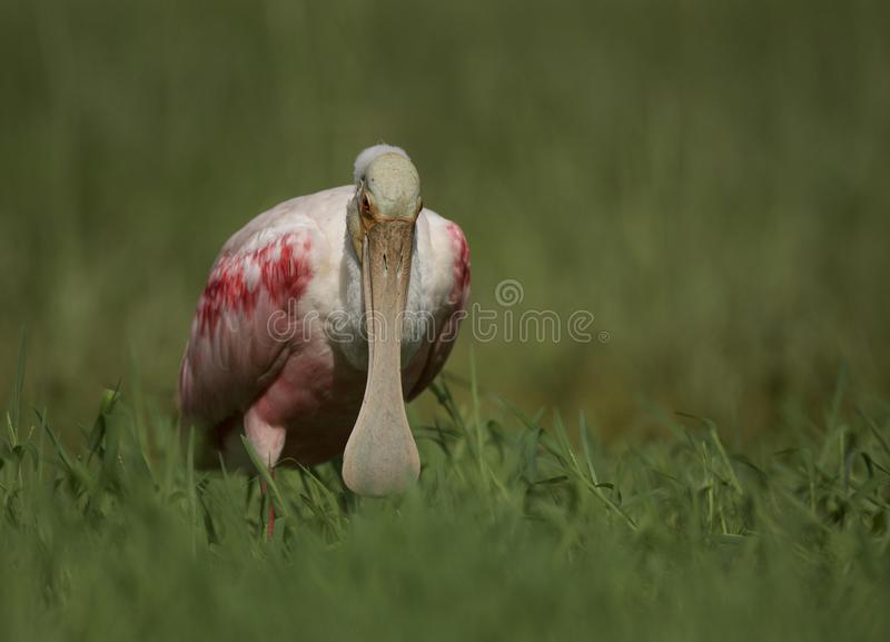 Roseate Spoonbill in Tampa, Florida. A beautiful pink Roseate Spoonbill Platalea ajaja wading in a flooded field, searching for tadpoles to eat. Tampa, FL, USA royalty free stock photo