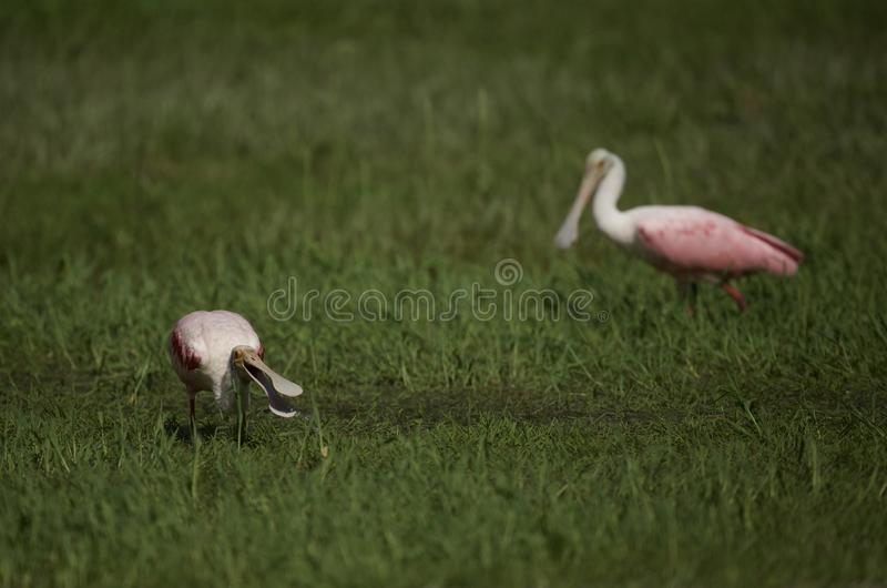 Roseate Spoonbill in Tampa, Florida. A pair of beautiful pink Roseate Spoonbill Platalea ajaja wading in a flooded field, searching for tadpoles to eat. Tampa royalty free stock images