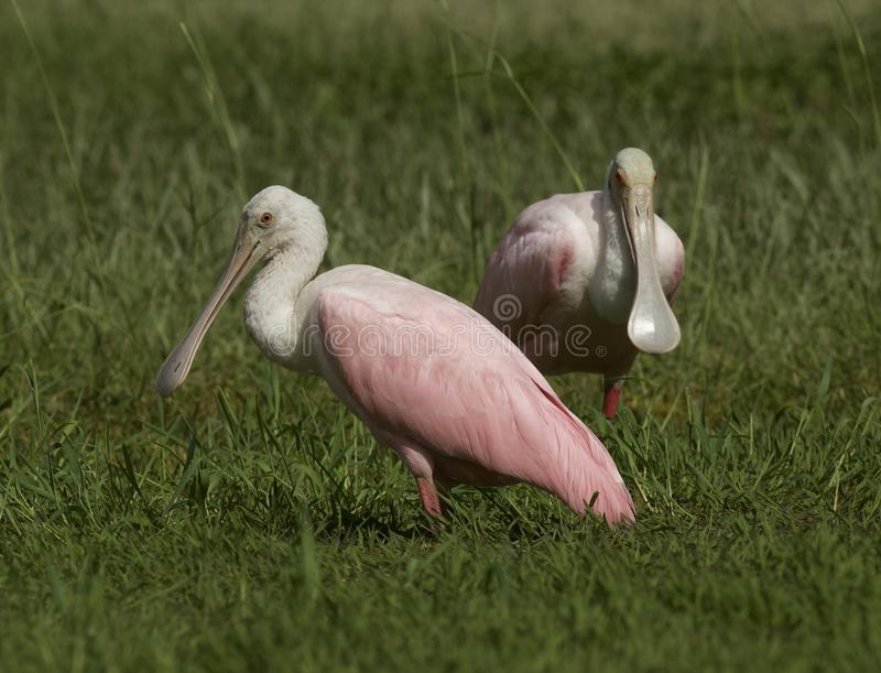 Roseate Spoonbill in Tampa, Florida. A pair of beautiful pink Roseate Spoonbill Platalea ajaja wading in a flooded field, searching for tadpoles to eat. Tampa stock images