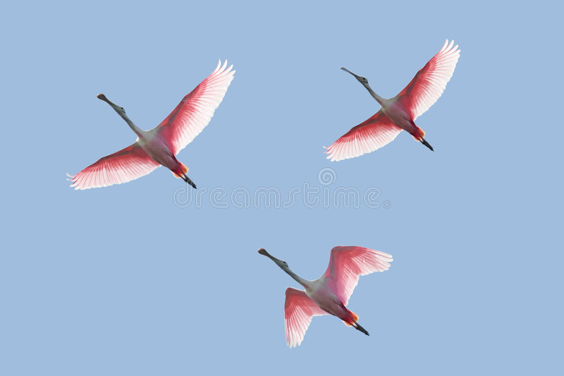 Download Roseate Spoonbills In Flight Stock Photo - Image: 8916660
