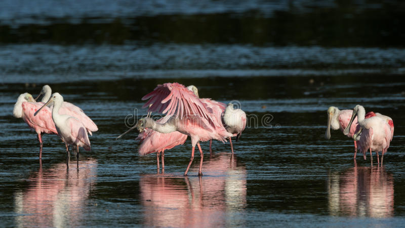 Roseate Spoonbills, J n `` Ding `` Darling National Wildlife Refu royaltyfri foto