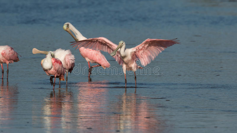 Roseate Spoonbills, J n `` Ding `` Darling National Wildlife Refu royaltyfria bilder