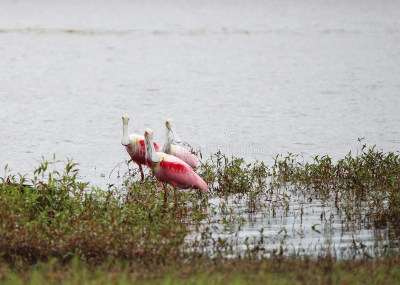 Roseate spoonbills på sjön royaltyfri fotografi