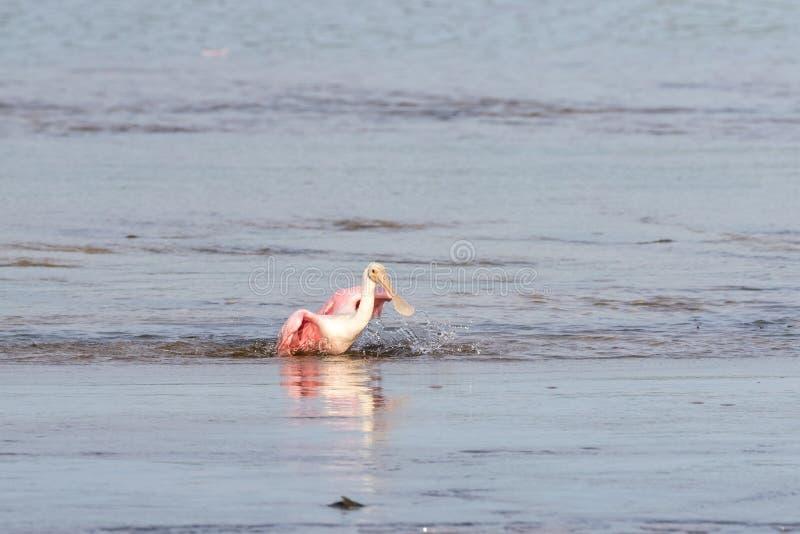 Roseate Spoonbills som badar, J n Ding Darling National Wildl royaltyfria bilder