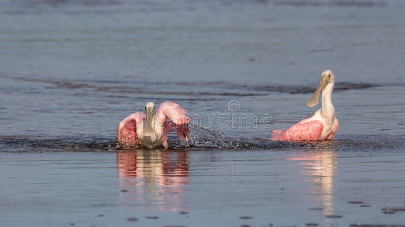 Roseate Spoonbills som badar, J n Ding Darling National Wildl arkivfoto