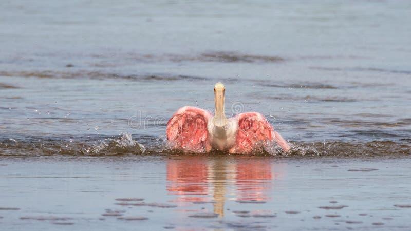 Roseate Spoonbills som badar, J n Ding Darling National Wildl royaltyfri fotografi