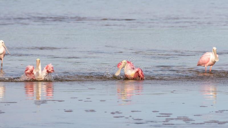 Roseate Spoonbills som badar, J n Ding Darling National Wildl royaltyfri bild
