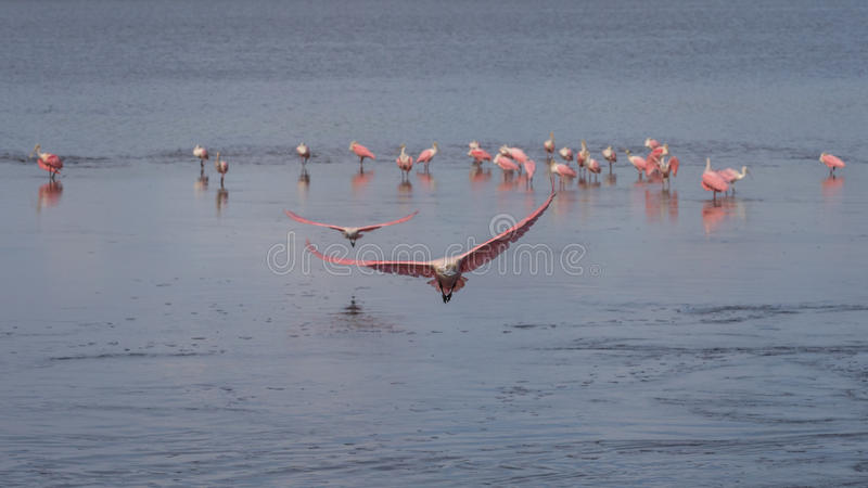 Roseate Spoonbills som flyger, J n Ding Darling National Wildli royaltyfria foton