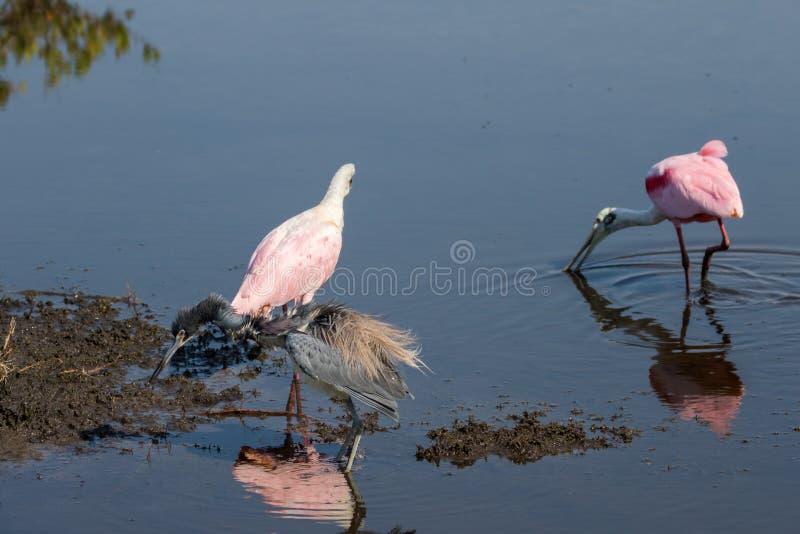 Roseate Spoonbills som söker efter föda, Tricolored häger, Merritt Island Na royaltyfri foto
