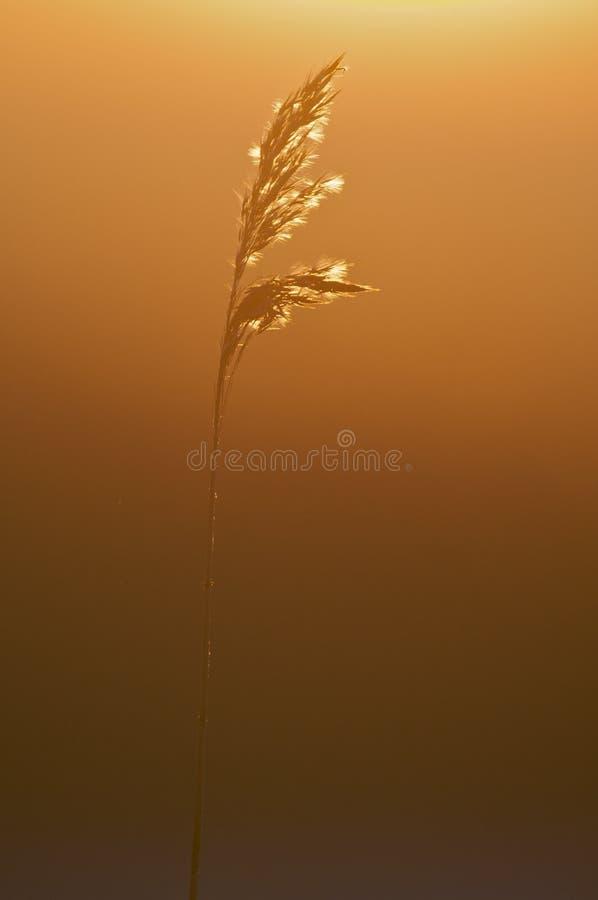 roseau photographie stock