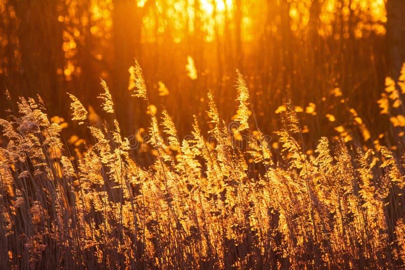 Roseau de coucher du soleil photos libres de droits