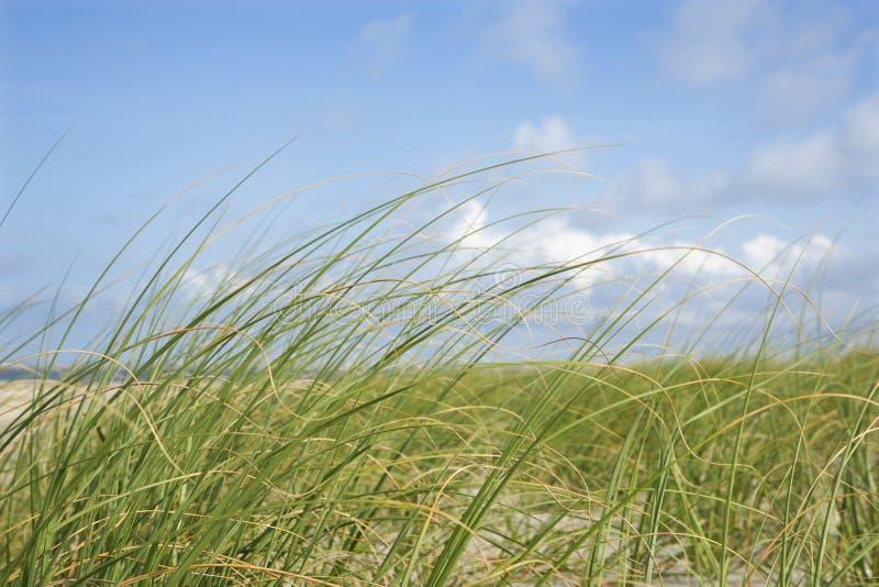 Roseau des sables photographie stock