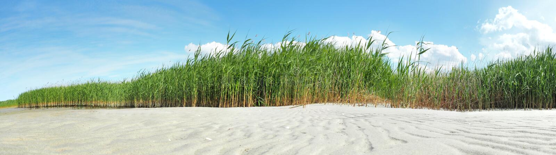 Roseau des sables baltique le long de la banque photos stock