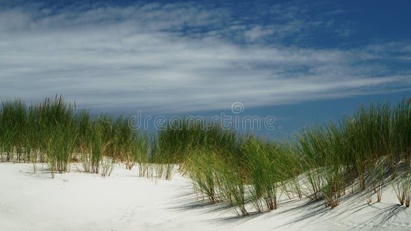 Roseau des sables sur la dune de sable sur la côte ouest de la Nouvelle Zélande photographie stock libre de droits