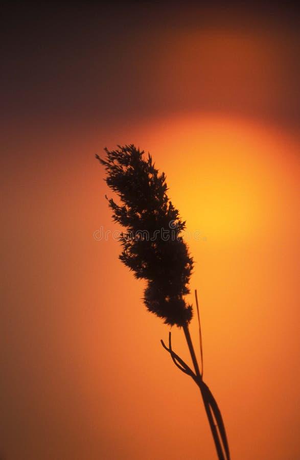Roseau et coucher du soleil images libres de droits