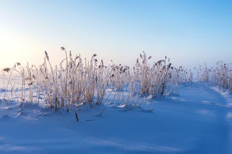 Roseau recouvert de cristaux de glace sous la lumière dure du soleil d'hiver images libres de droits