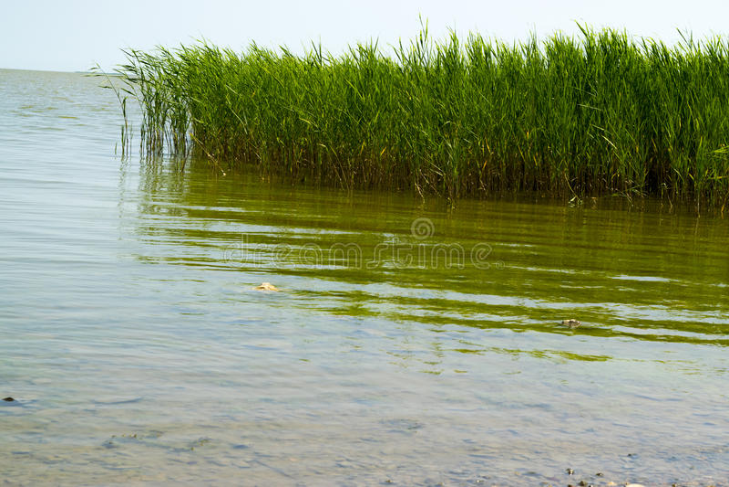 Roseau vert photo libre de droits