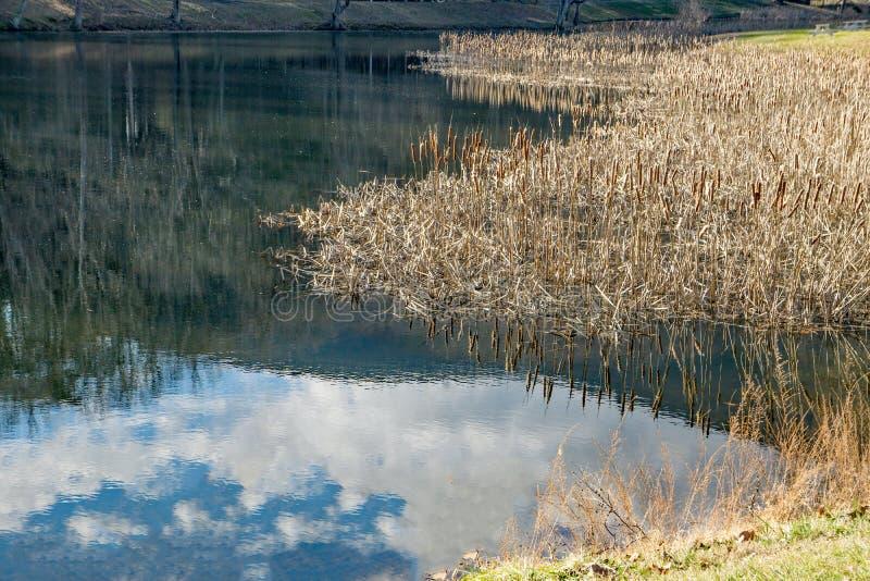 Roseaux, étang de pêche et réflexions photo libre de droits