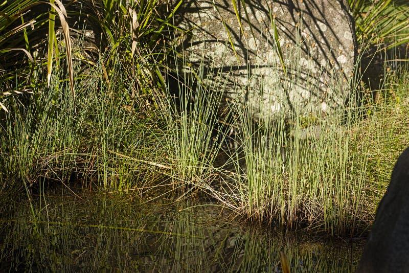 Roseaux au bord de l'étang images stock