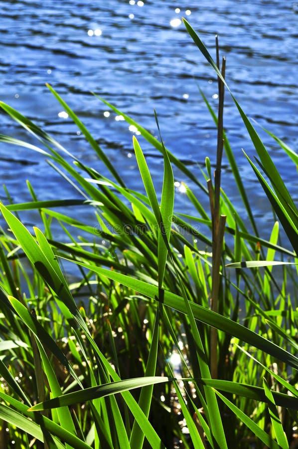 Roseaux au bord de l'eau images stock