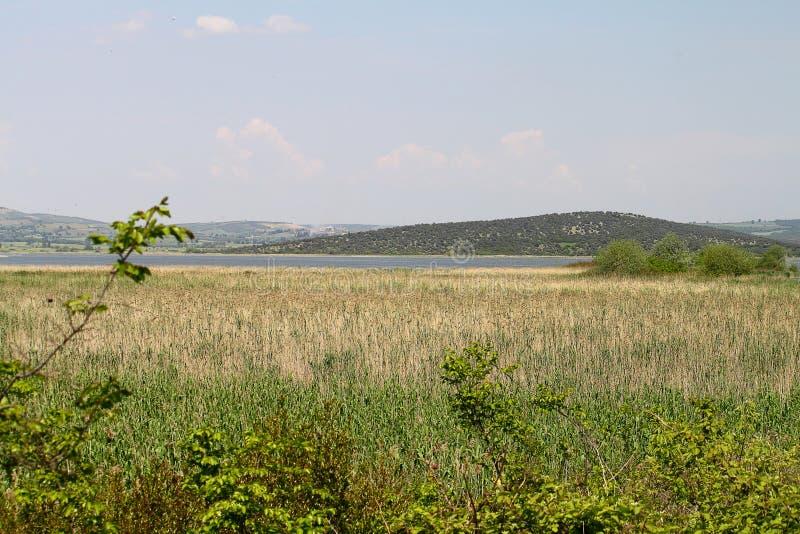 Roseaux au lac sous le ciel bleu photographie stock libre de droits