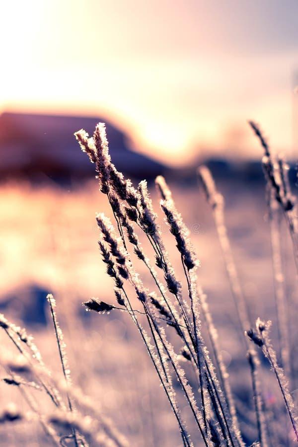 Roseaux contre un ciel bleu en hiver Tiges sèches de roseau couvertes de gelée, verticale photos stock