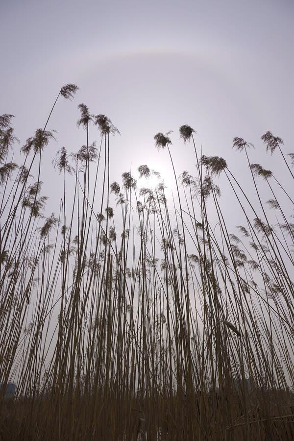Roseaux d'hiver et halo solaire photos stock