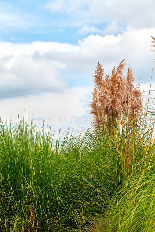 Roseaux d'usine en nature verte photographie stock