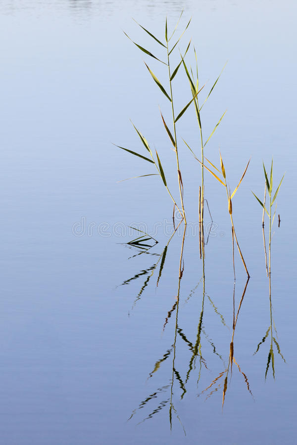 Roseaux dans l'eau image libre de droits