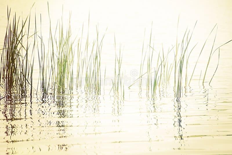 Roseaux dans le lac paisible image libre de droits